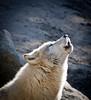 The Last Howl (Ganymede: Photography) Tags: madrid cold zoo aquarium daylight nikon wolf vignette artic howling howl d60 nikond60 specanimal zooaquariumdemadrid