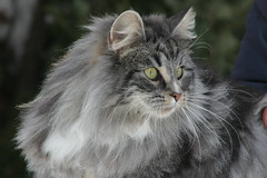 CH. PADME' DE LA FORGE (Gatti Del Freddo - NFC) Tags: cats del cat de la norwegian forge gatto freddo gatti chatons delle cuccioli foreste norvegese norvegien norvegesi gattidelfreddo norgevese