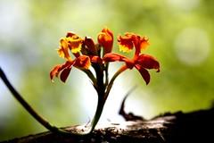 Orquidea - Epidendrum elogatum - Crucifix orchid (tinica50) Tags: bokeh ~ crucifixorchid awesomeblossoms amazingdetails silveramazingdetails epidendrumelogatum