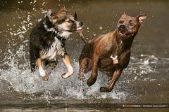 Grrl Power (Edgar Thissen) Tags: dog pet dogs water speed fun play splash edgarthissen 7299 snoet