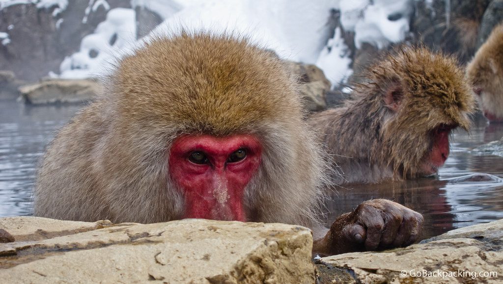 Snow monkey eyes
