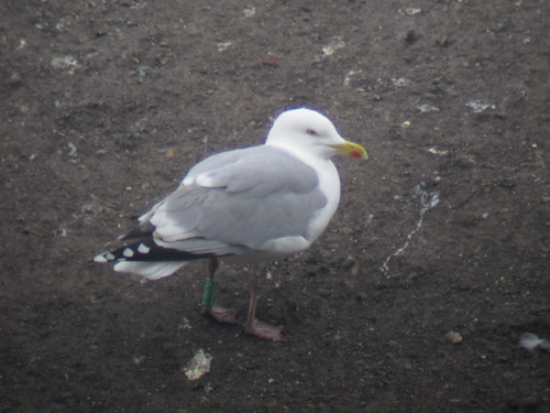 Herring Gull - GREEN [F-AFH] / white