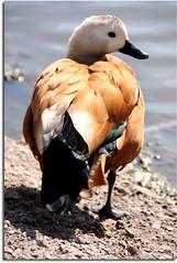 Ruddy Shelduck (Tadorna ferruginea) (Donna JW) Tags: water duck waterbird wwt shelduck ruddyshelduck tadornaferruginea gamewinner friendlychallenges herowinner pregamewinner
