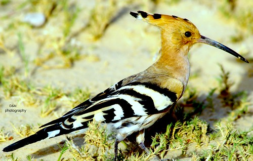 Hoopoe by d&m qtr
