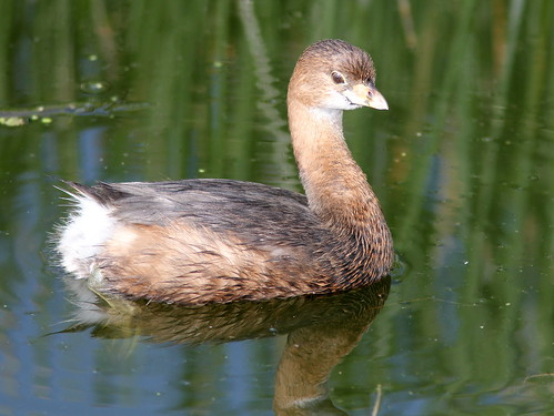 Pied-billed Grebe 20110220