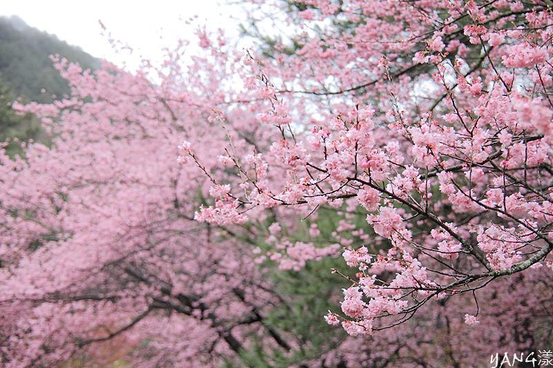 2011武陵‧櫻花‧雨