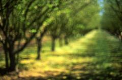 feels like summer (manyfires) Tags: trees summer green film oregon landscape golden spring blurry grove bokeh farm warmth outoffocus pacificnorthwest hazelnut tulipfestival woodburn nikonfm