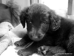 Black Retriever Puppy (Nicolas Cruz) Tags: colombia bogota retriever cruz nicolas negra cachorrita