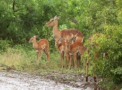 Impalas in the Rain (cowyeow) Tags: africa family mist rain southafrica mammal babies african group mother safari antelope females impala raining gazelle mammals zulu kwazulunatal zululand misting impalas zulunatal