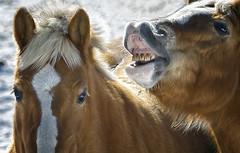 So I said to her... (Isabelle Ann) Tags: horse cheval pferde cavallo cavalo pferd equus loh equineart horsetalk
