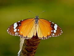 Show Off (Explore(d) (Rosita So Image) Tags: macro nature fauna butterfly monarch plaintiger saariysqualitypictures