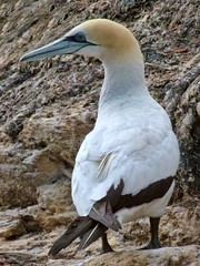 Australasian Gannet (SidPix) Tags: newzealand bird native marlborough seabird australasian gannet takapu morusserrator gannetry taxonomy:binomial=morusserrator waimaru