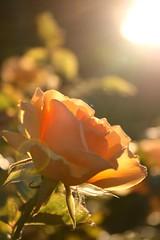 21 degrees (Mark Tweedale) Tags: sunset rose sunburst flickrsbest