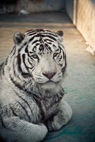 White tiger in Harbin (哈尔滨)