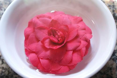 camellia bloom