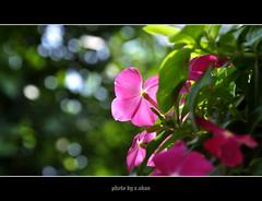 vinca rosea flower #2 (e.nhan) Tags: pink light flower art nature closeup landscape colours dof bokeh backlighting enhan