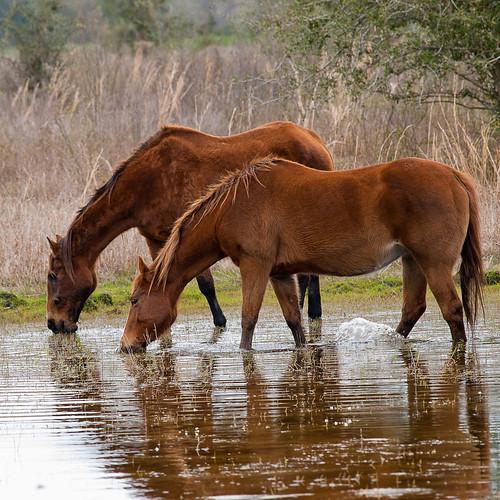 Drinking Stallions