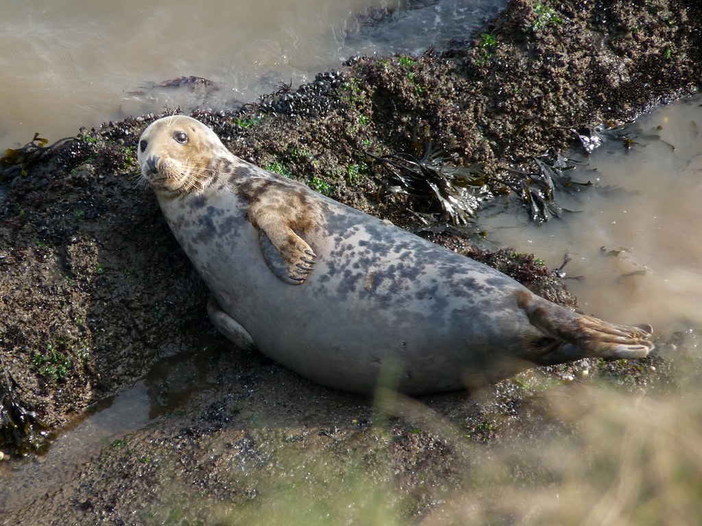 23948 - Grey Seal, Worms Head, Rhossili, Gower
