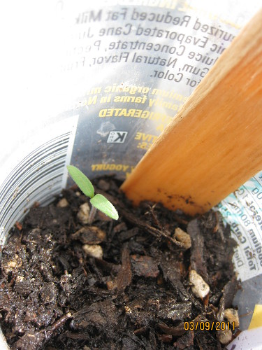 tomato seedling 1