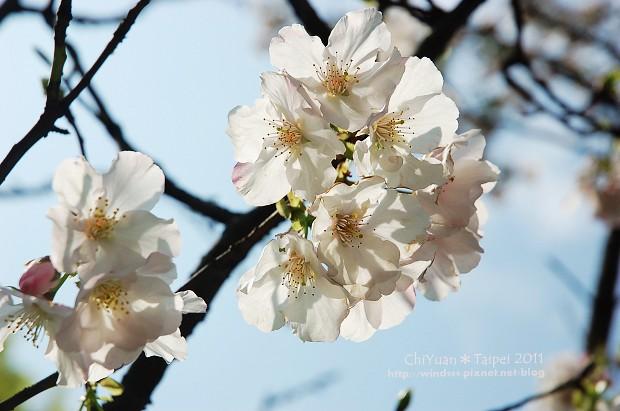 2011陽明山花季04.jpg