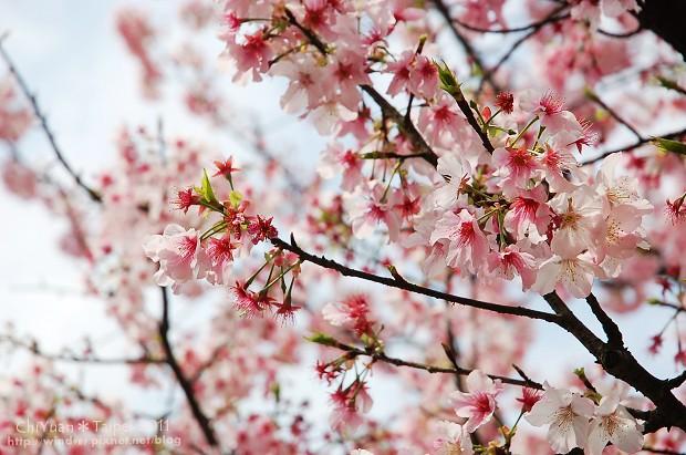 2011陽明山花季16.jpg