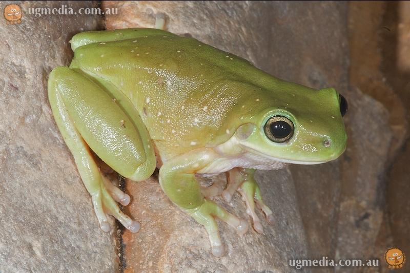 Gillen's tree frog (Litoria gilleni)