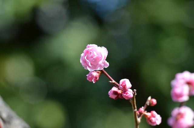 Prunus ~ 薔薇の眷属