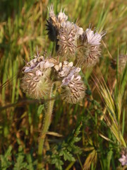 Phacelia 04 (Tom Hilton) Tags: color wildflowers phacelia phaceliatanacetifolia windwolvespreserve hydrophylllaceae