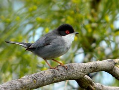 Toutinegra-de-cabea-preta (ou Toutinegra-dos-valados)  | Sardinian Warbler (Sylvia melanocephala) (Rosa Gamboias/ on vacation) Tags: naturaleza nature birds animals fauna wildlife natureza birding natura aves uccelli pjaros animaux animais ornithology birdwatching pssaros sylvia vogel oiseaux avifauna warblers naturesfinest sylviamelanocephala sardinianwarbler toutinegradosvalados sylviidae ornitologia toutinegras toutinegradecabeapreta currucas rosagambias