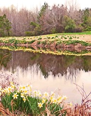 Farm Pond with Daffodils--Webb's Chapel Road:  Crisp, Edgecombe County, NC (EdgecombePlanter) Tags: rural farm farming meadows historic southern oldbarns rivers fields streams antebellum farmanimals smalltown creeks plantationhouse historichouse farmscenes oldchurches oldschools rurallandscape edgecombecounty