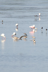 Roseate Spoonbills Photo