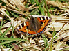 Small tortoiseshell (Mr Grimesdale) Tags: butterflies paintedlady stevewallace mrgrimesdale butterflybritish