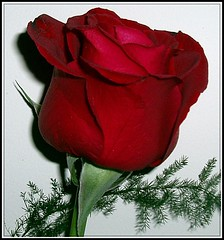 Para vos..... (lacha2008) Tags: natureselegantshots mimamorflowers thebestofmimamorsgroups theoriginalgoldseal flickrsportal rosesforeveryone flickrstruereflection2 flickrstruereflection3 flickrstruereflection4 flickrstruereflection5 flickrstruereflection6 flickrstruereflection7 rememberthatmomentlevel4 rememberthatmomentlevel1 rememberthatmomentlevel2 rememberthatmomentlevel3 rememberthatmomentlevel7 rememberthatmomentlevel9 rememberthatmomentlevel5 rememberthatmomentlevel6 rememberthatmomentlevel8