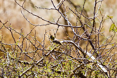 d'Arnaud's Barbet (Ken Zaremba) Tags: africa africanbarbets geography kenya laikipiaplateau nonpasserines trachyphonusdarnaudii animal bird darnaudsbarbet