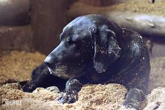 Tired dog (#KarineOggPhoto) Tags: dog black female nice labrador stall preto cruz tired cachorro stable ka cansado baia cocheira femea serragem kcruz dogkcruz animalkcruz animalskcruz