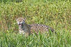Jaguar in the vegetation with open mouth (Tambako the Jaguar) Tags: standing posing grass vegetation male openmouth portrait portojofre jaguar big wild cat wildanimal wildlife nature pantanal matogrosso brazil nikon d5