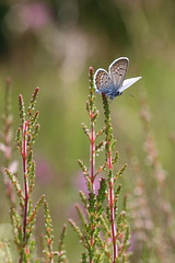 Heather Perch (raggi di sole) Tags: england thursley nature silverstuddedblue butterfly insect lepidoptera lycaenidae plebejusargus blue heathland wings heather underwing perched