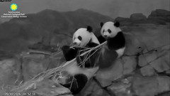 2016_09-30r (gkoo19681) Tags: beibei meixiang sharingiscaring stealing adorableears liketwins justlikemama toocute ccncby nationalzoo