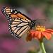 High Park Monarch