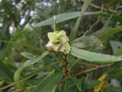 Camellia Gall on White Willow (mausboam) Tags: bpgsfieldmeeting rabdophagastrobilina wickenfen photo:ref=6917 salix salixalba salicaceae plantgall