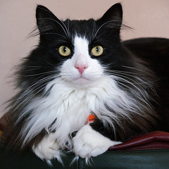 Oscar (hehaden) Tags: blackandwhite animal cat square startled kitty whiskers tuxedo tufts tux wideeyed