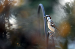 On the Garden Fence (Deby Dixon) Tags: bird home yard photography washington nikon spokane dof bokeh sparrow housesparrow deby allrightsreserved experimenting wideopen 2011 debydixon debydixonphotography seenthroughthepyracantha firstbirdshotinnewyard ihavealotofthesebirdsinmyyard twocatsareregularlypatrollingtheyard