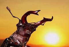 Stag beetle (Marcello Bardi) Tags: macro macrolife wonderfulworldofmacro mygearandme mygearandmepremium mygearandmebronze aboveandbeyondlevel1 flickrstruereflection1 elitegold