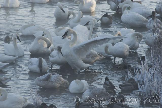 swans2