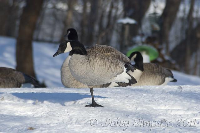 cold goose feet