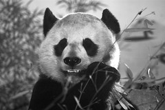 Mei Xiang In Black & White (Dan Dan The Binary Man) Tags: park blackandwhite bw white black beautiful female washingtondc smithsonian blackwhite dc washington districtofcolumbia panda district bears columbia bamboo national nz dcist nationalzoo species inside endangered mei mx fonz xiang pandas washdc fragrance meixiang zoological dczoo enclousure smithsoniannationalzoologicalpark snzp friendsofthenationalzoo beautifulfragrance natzoo