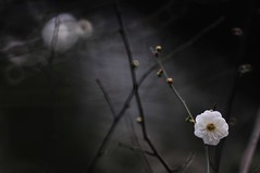 Plum  (Mel s away) Tags: plant flower mirror bokeh branches plum mel melinda macau   hbw reflexlens  300mmf56 chanmelmel hbwe