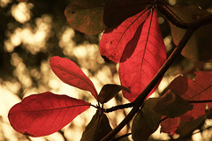 Beauty Of Light! (VinothChandar) Tags: park light red orange india nature beauty leaves bokeh madras chennai tamilnadu guindy