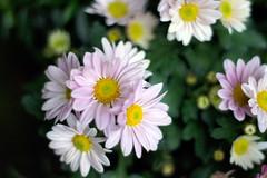 DSC04300-r (SleepyHead De) Tags: flower bokeh minolta50mmf17 sonyalpha550 sonya550