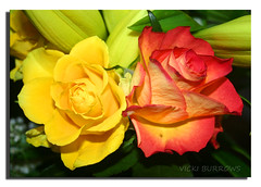TWO FOR THE PRICE OF ONE.... (vicki127.) Tags: orange macro green leaves rose yellow canon300d soe digitalcameraclub topshots youmademyday flickraward excellentsflowers ilovemypics wonderfulworldofflowers mimamorflowers 100commentgroup flickrflorescloseupmacros greatshotss mygearandme adobephotoshopcs5 ringofexcellence vickiburrows exquisiteflowersflowersarrebaeutifulmacroselsalvadormixedflowersfaunaandfloraoftheworld vicki127 haitygitselite
